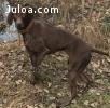 Щенки Курцхаара Немецкая легавая охотничья собака